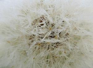 Goatsbeard seeds<br>(Aruncus dioicus)