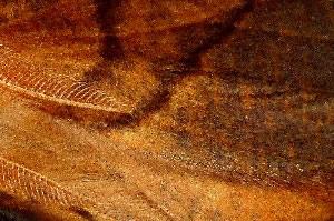 Dusky thorn<br>An Autumn moth<br>(Ennomos fuscantaria)