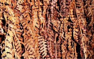 Dead fern fronds<br>(Dryopteris filix-mas)