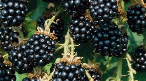 Blackberries<br>(Rubus fruticosus)