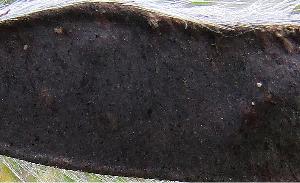 Broom seed capsule<br>(Cytisus scoparius)
