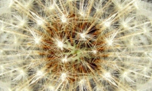 Dandelion seed head<br>(Taraxacum officinale)