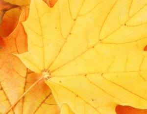Maple leaf<br>(Acer sp.)