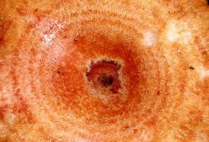 Woolly milkcap<br>             (Lactarius torminosus)