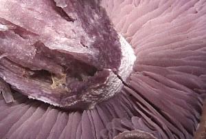Bruising Webcap gills<br>(Cortinarius purpurascens)