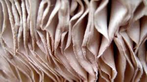 Parasol Mushroom gills<br>(Macrolepiota procera)
